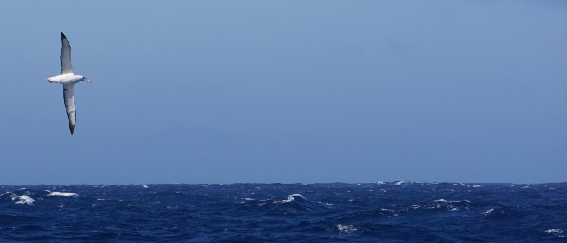 Albatross soaring in the Sub Antarctic Pacific Ocean